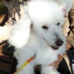 犬をレンタル 横浜トリミングスクールで犬をお散歩 (新横浜)