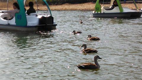 昭和記念公園の池にいるカモ